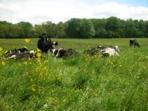 Vaches de la Ferme des Clérambauts à Essomes sur Marne - Aisne