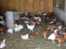 Vente de volaille à la ferme - chateau-thierry
