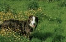 chien de troupeau à la ferme des clérambauts