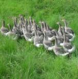 Elevage de volailles en plein air