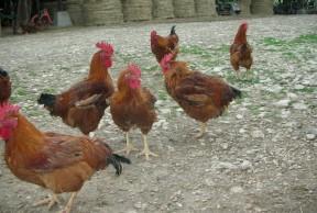 Volaille de plein air à la ferme des Clérambauts